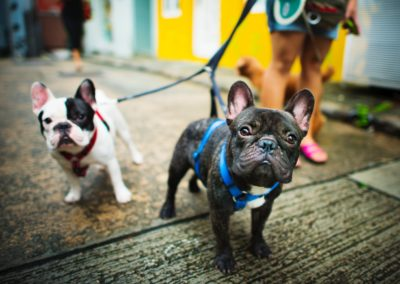 Two French Bulldogs on leashes.