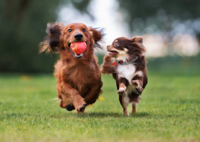 Two dogs running and playing in the grass.